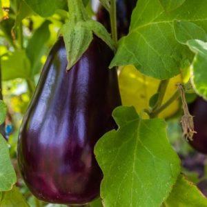 healthy eggplant recipes for healthy Italian food